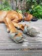 Rhodesian, Ridgeback, Hund, Hundepfofen, Entspannung, entspannt,
