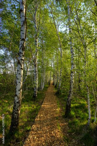 Germany, Bavaria, Upper Bavaria, Chiemgau, Grassau, alley with birch trees
