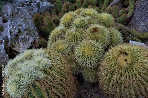 Foto op Plexiglas Cactus The thorny but beautiful cactus plants