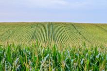 Beautiful Green Corn Field At ...