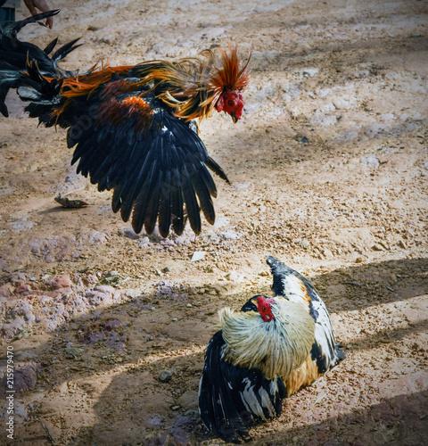Fotografie, Tablou  Cock fight in borneo