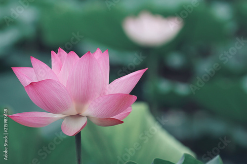 Fotobehang Lotusbloem pink lotus