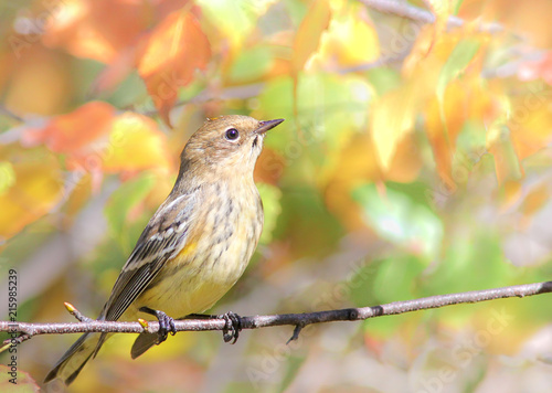 Leinwand Poster Yellow-rumped warbler
