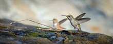 Two Hummingbirds (Anna's And A...