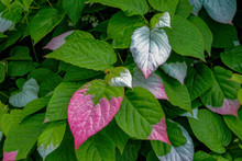 Colorful Leaves Of Actinidia K...