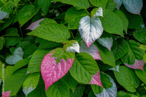 Wallpaper Mural Colorful leaves of Actinidia kolomikta, commonly known as variegated-leaf hardy kiwi