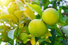 Two Green Young Grapefruit Cit...