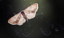 Night Butterfly On The Window Looks Inside