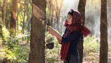 Woman  In Rubber Plantation