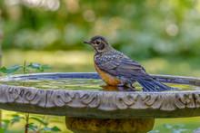 Robin Bathing In Bird Bath