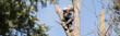 canvas print picture - Baumfäller sägt in luftiger Höhe einen Stamm durch