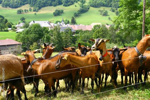 élevage de chèvres dans le massif des Bauges en Savoie