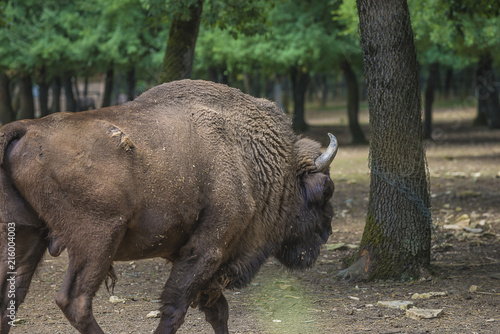 Foto op Canvas Bison European bison in the natural area