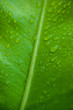 Close up green leaf with water drops. Beautiful leaf texture in nature. Natural background