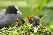 Coot With Chicken On Nest