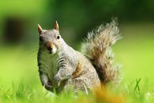 Curious Gray Squirrel Looking At Camera