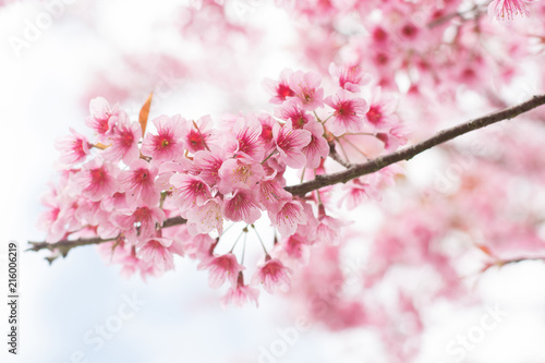 Soft focus beautiful sakura blossom, Phulomlo loei in Thailand Poster