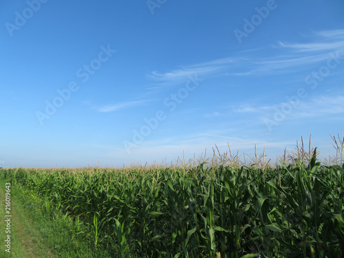 Valokuva  Green corn field and blue sky with clouds
