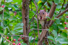 Chipmunk Eating A Berry In A Tree.