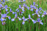 Blue iris siberian plant