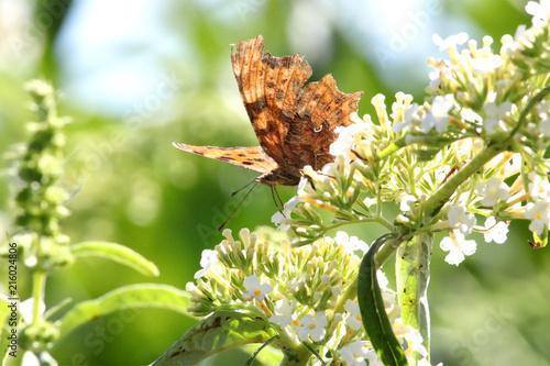 Plakat Wiatr poobijany motyl Przecinek, pokazując uszkodzone skrzydła, karmienia na biały kwiat buddleia, na tle rozmytego tła