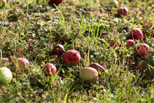Windfall Apples In The Grass U...