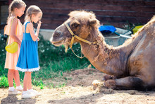 Little Girl With Camels In The...
