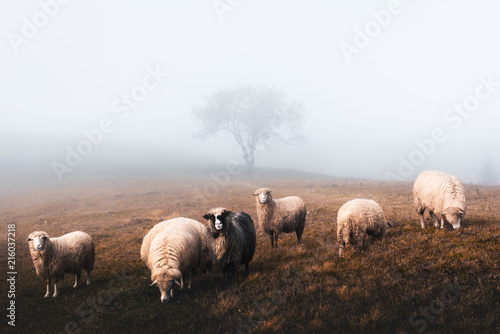 Foto op Canvas Schapen Herd of sheeps in foggy autumn mountains. Carpathians, Ukraine, Europe. Landscape photography
