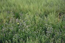 Alfalfa Field 3