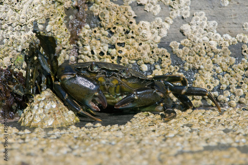 Green Shore Crab (Carcinus maenas)/European Green Crab on barnacle encrusted rock