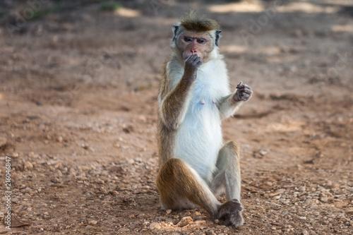 Foto op Plexiglas Aap Cute monkey sitting on the ground and eating.Barbary ape or magot (Macaca sylvanus)