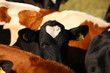 Kuh mit Herz