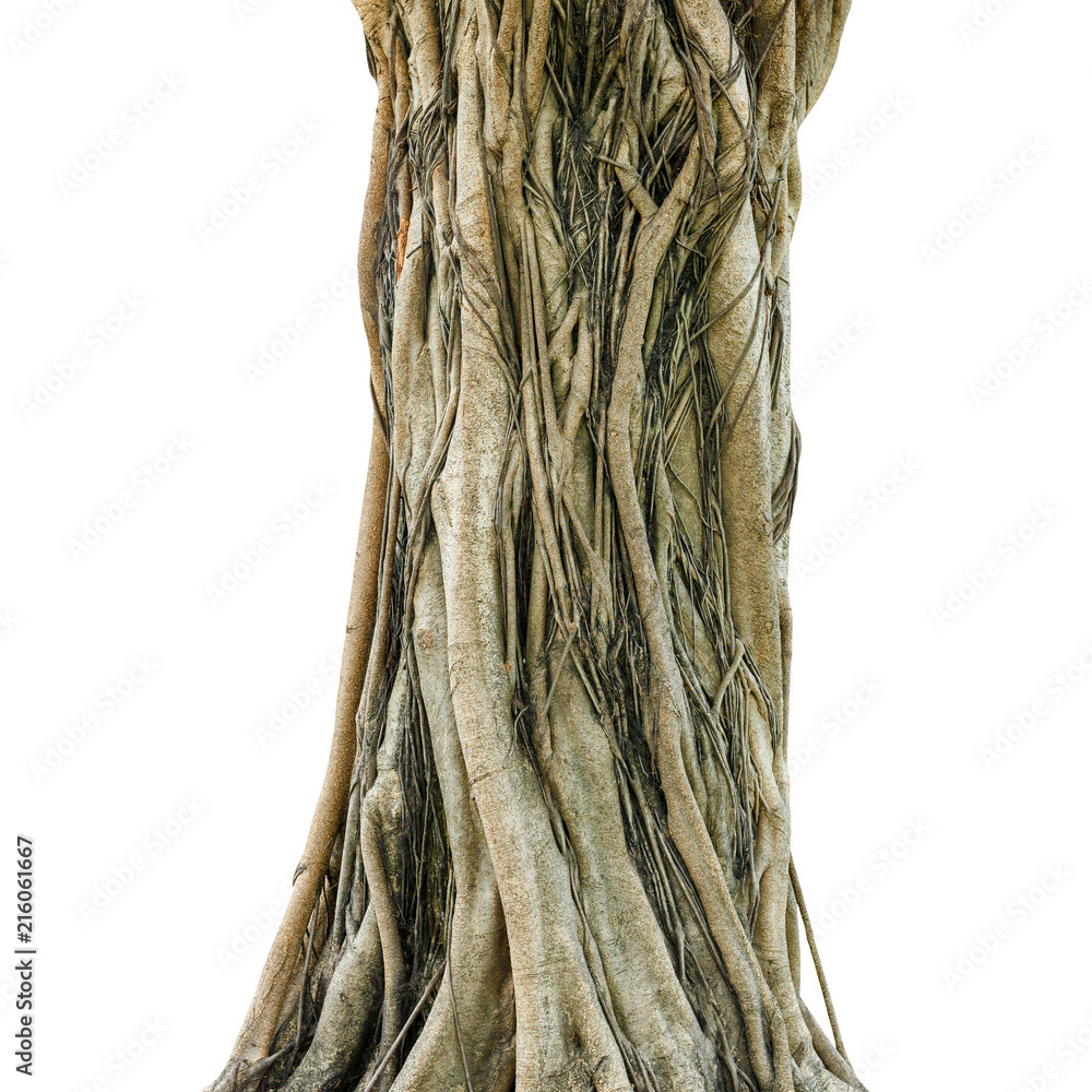 Fototapety, obrazy: Tree trunk isolated on white background. This has clipping path.