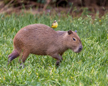 Capybara With A Kiskadee On Its Back