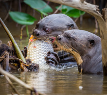 Giant River Otters Feeding On ...