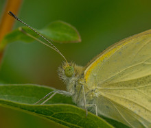Yellow Butterfly Hiding In The...