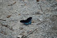 A Red Spotted Purple Admiral Butterfly On The Ground With Its Wings Spread Open.
