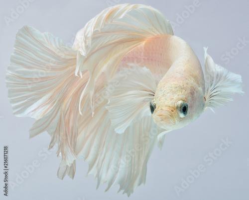 Fotografia Halfmoon betta fish, siamese fighting fish, Capture moving of fish, Betta splend