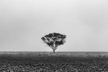 Lone Tree In Desert Landscape In The Morning Fog