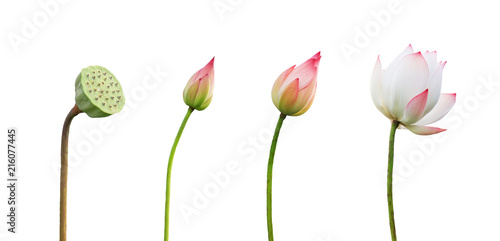 Fotobehang Lotusbloem step growing lotus flower isolate on white background