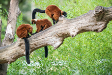 Two Red Ruffed Lemur