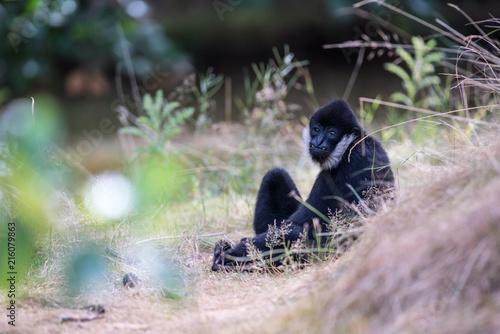Valokuva Northern white cheeked gibbon