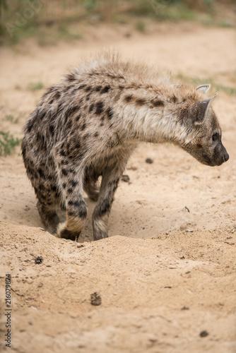 Foto op Plexiglas Hyena Hyena in the sand