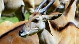 Głowa antylopy Eland, którą oblazły muchy w upalny afrykański dzień