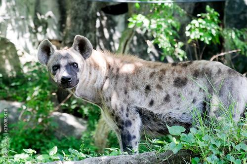 Foto op Plexiglas Hyena Wildlife of Hyena in the zoo at Thailand