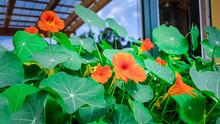 Kapuziner Balkon Pflanze