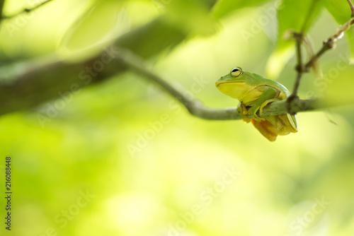 緑をバックに枝に乗ったニホンアマガエル Fototapet