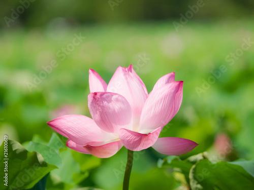 Foto op Aluminium Lotusbloem lotus flower in Shinobazuno-Ike Pond,Ueno,Tokyo,Japan