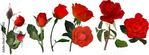 Fototapeta six red rose flower stripe on white obraz