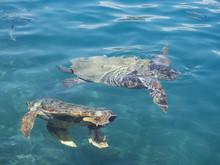 Loggerhead Sea Turtle, Caretta...